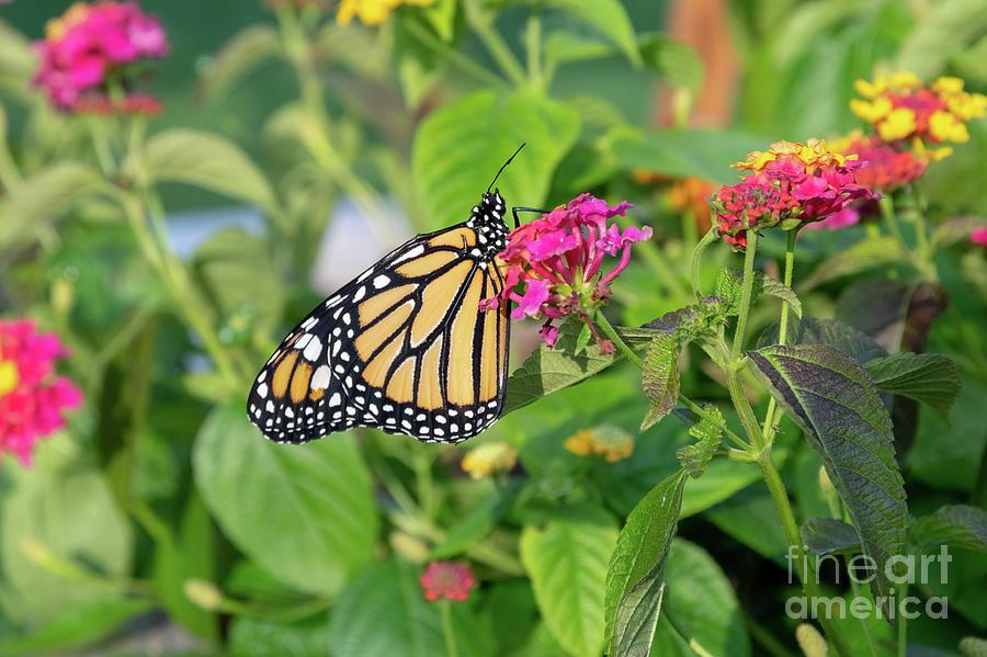 Monarch Butterfly Photograph - Monarch Butterfly On A Flower  by Dylan Brett