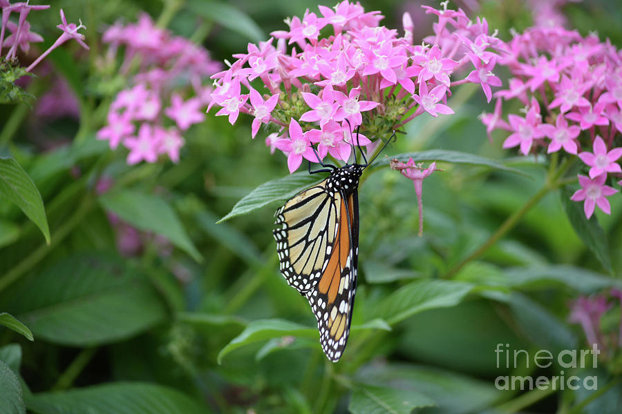Flowers Photograph - Monarch Butterfly On Pink Flowers  by Ruth Housley