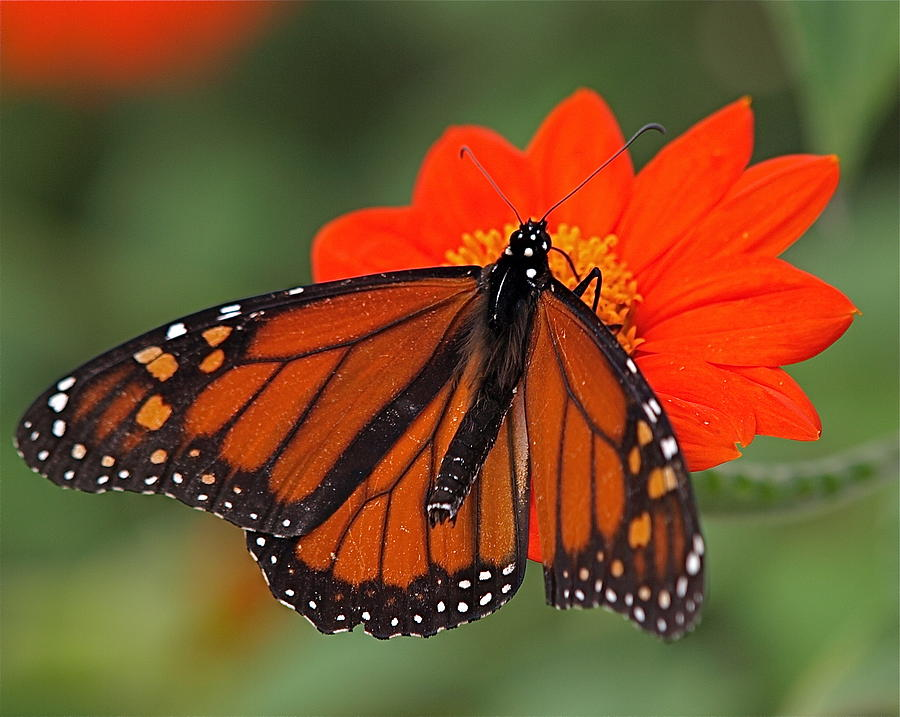 Butterfly Photograph - Monarch Butterfly by Peter Gray
