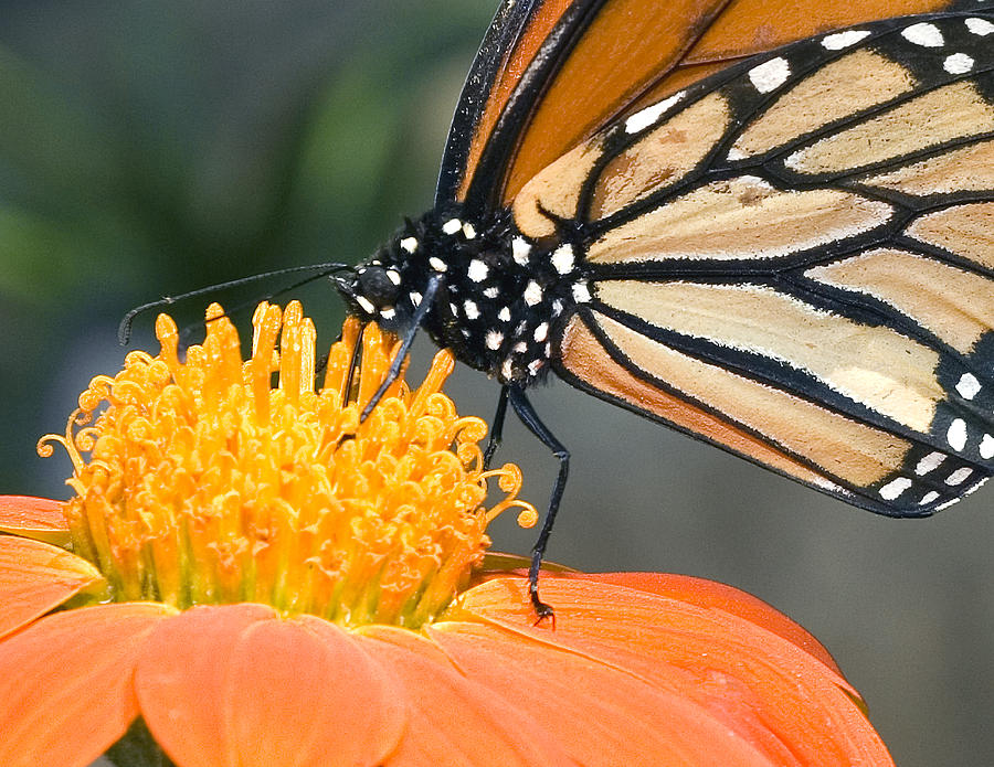 Monarch Butterfly Sip Nectar From A Daisy Flower Photograph
