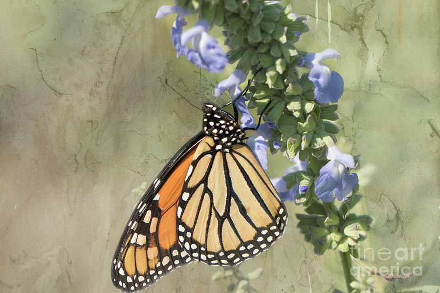 Monarch Photograph - Monarch Butterfly Textured Background by Nikki Vig