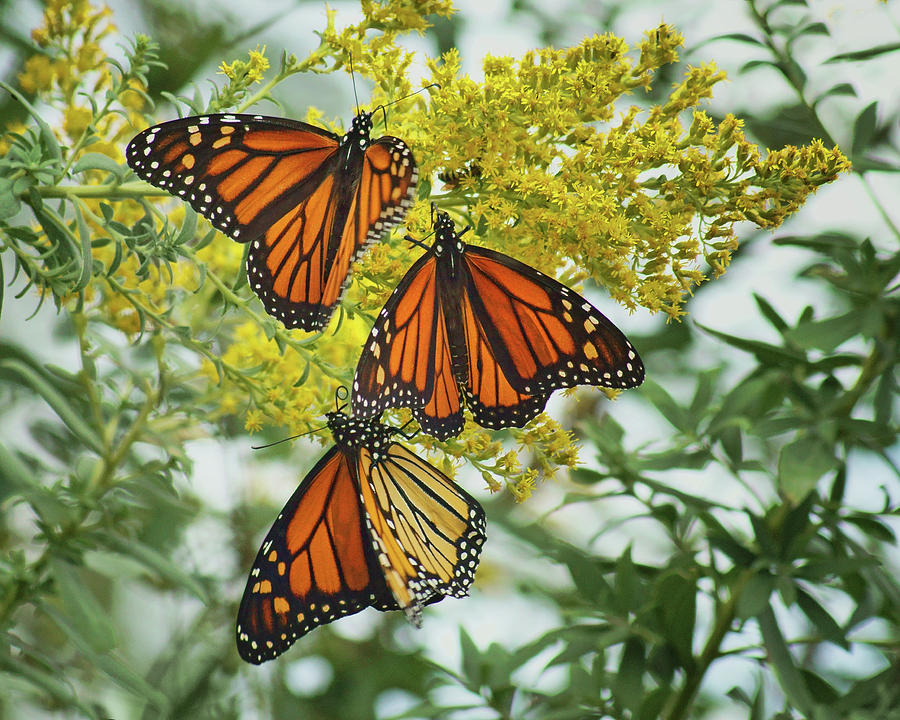 Monarch Butterfly Photograph - Monarch Butterfly - Trio by Nikolyn McDonald