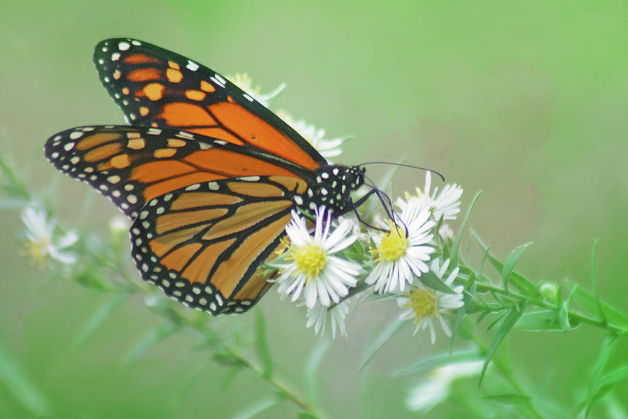 Monarch Butterfly Photograph - Monarch Butterfly - Wild Aster - 2 by Nikolyn McDonald