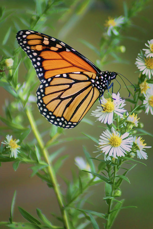 Monarch Butterfly Photograph - Monarch Butterfly - Wild Aster by Nikolyn McDonald