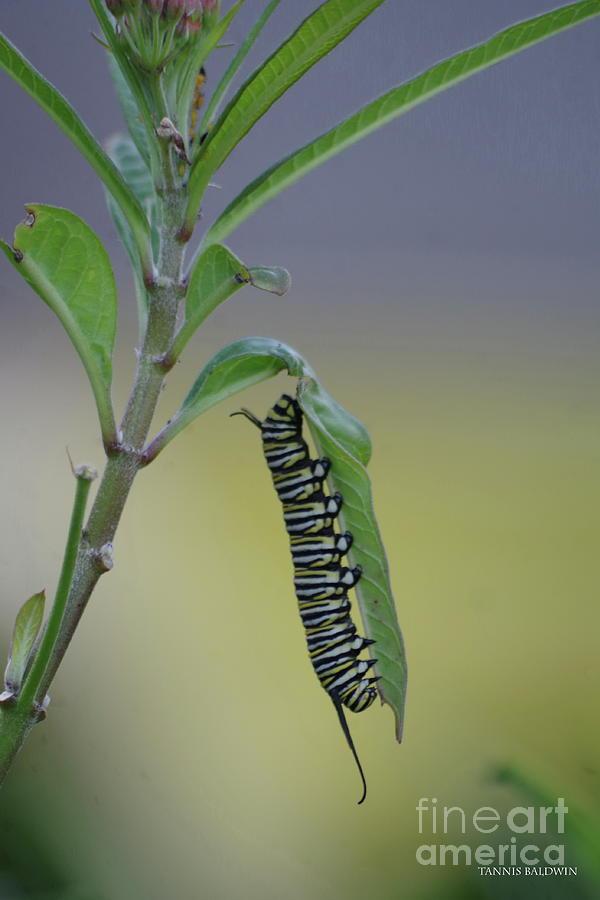 46e149fc Monarch Caterpillar Feeding Photograph by Tannis Baldwin