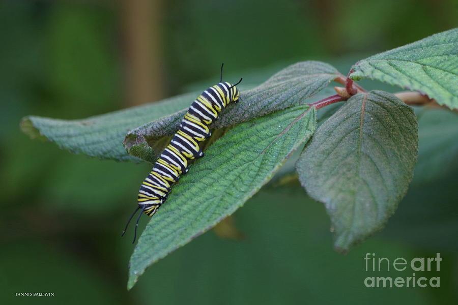58a7050c Milkweed Photograph - Monarch Caterpillar by Tannis Baldwin