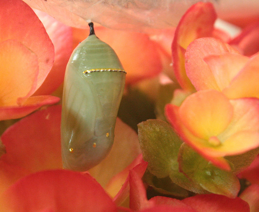 Monarch Chrysalis  Photograph by Nancy TeWinkel Lauren