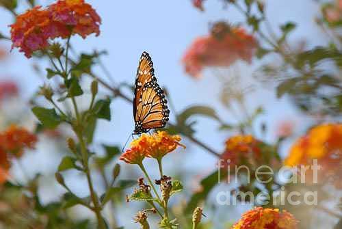 Monarch Photograph - Monarch by Dennis Hammer