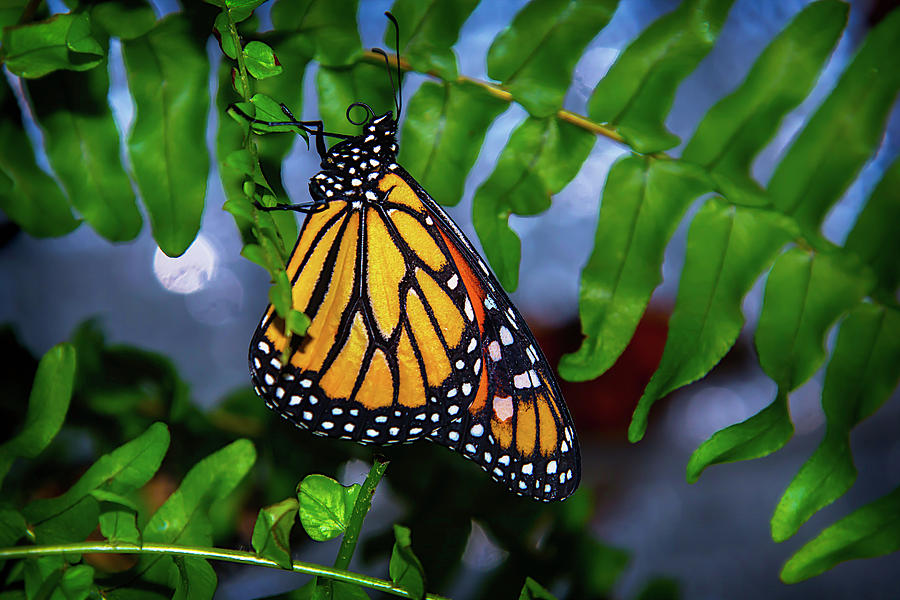 Hanging Photograph - Monarch Feeding by Garry Gay