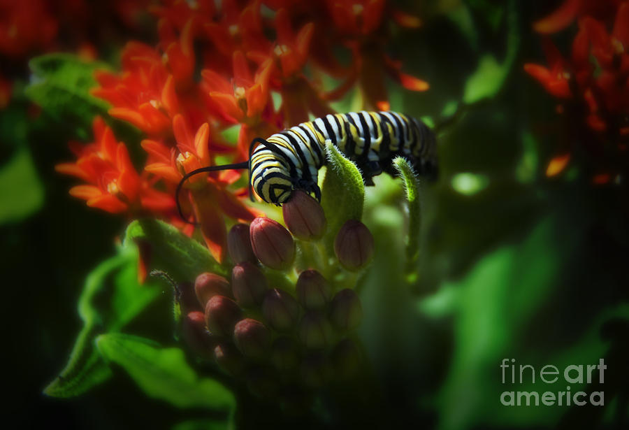 Kansas Photograph - Monarch by Fred Lassmann