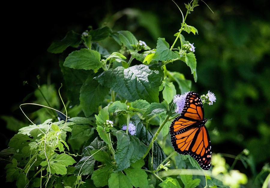 Monarch by GK Hebert Photography