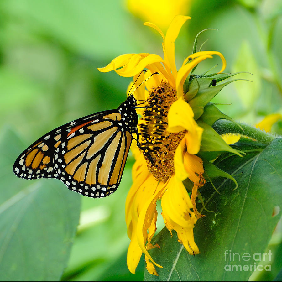 Butterfly Photograph - Monarch Gold by Edward Sobuta