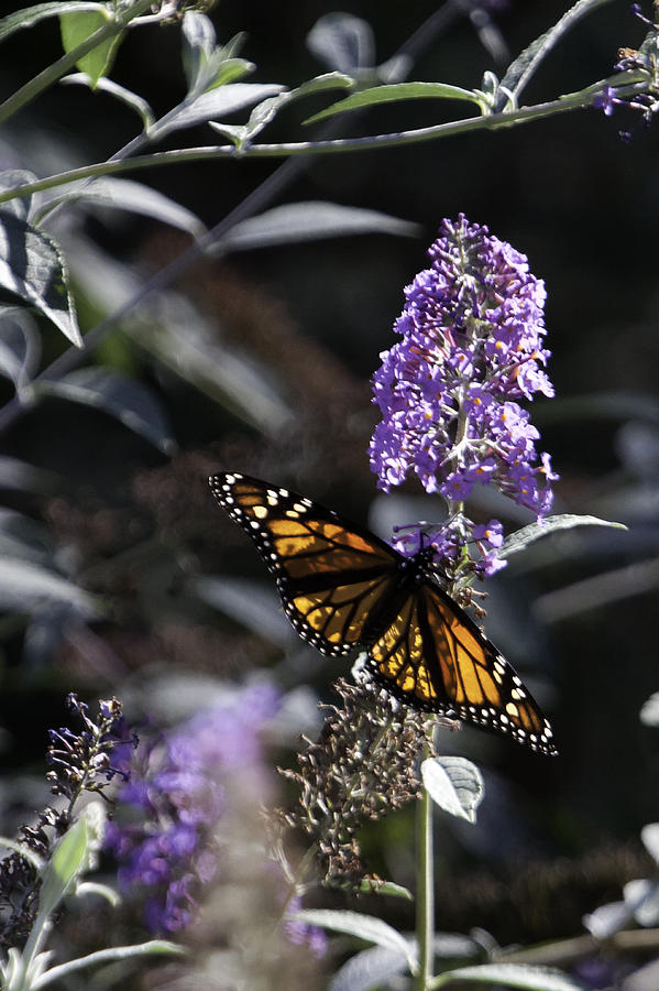 Butterfly Bush Photograph - Monarch In Backlighting by Rob Travis
