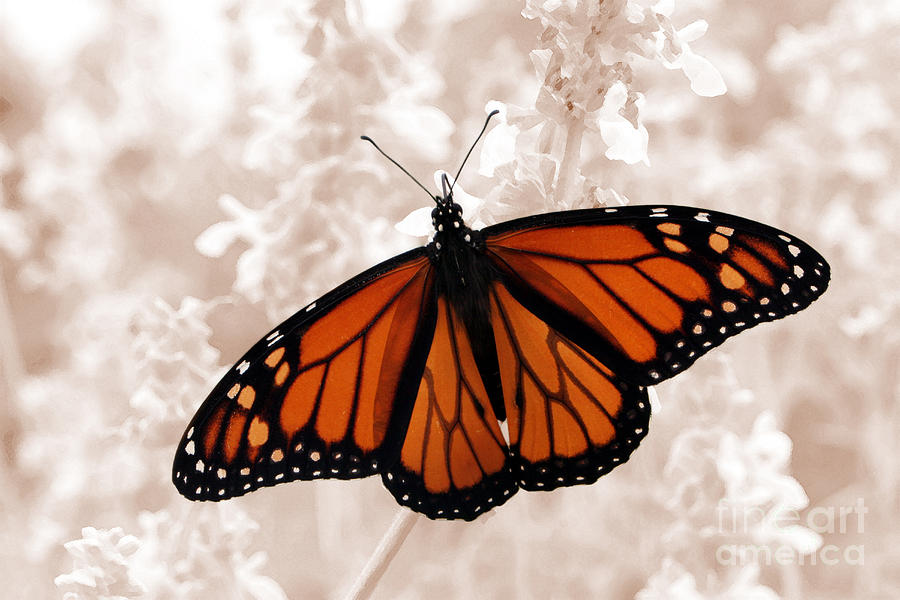 Monarch Photograph - Monarch by Jeannie Burleson