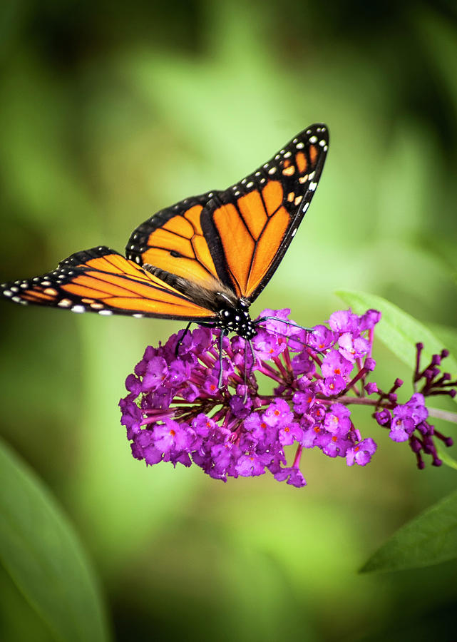 Monarch Moth on Buddleias by Carolyn Marshall