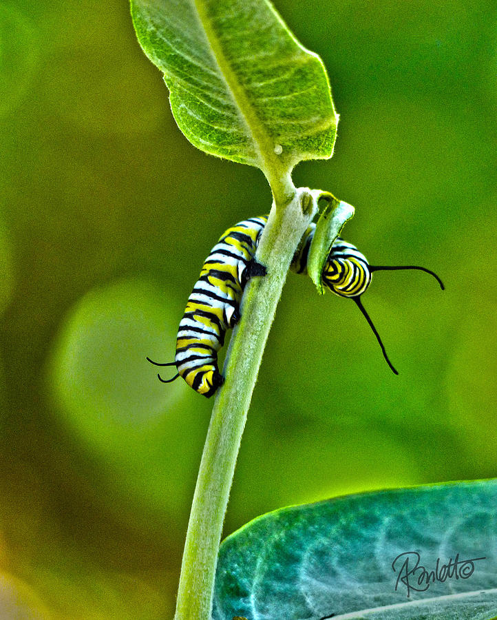 Monarch Munchies by Ann Ranlett