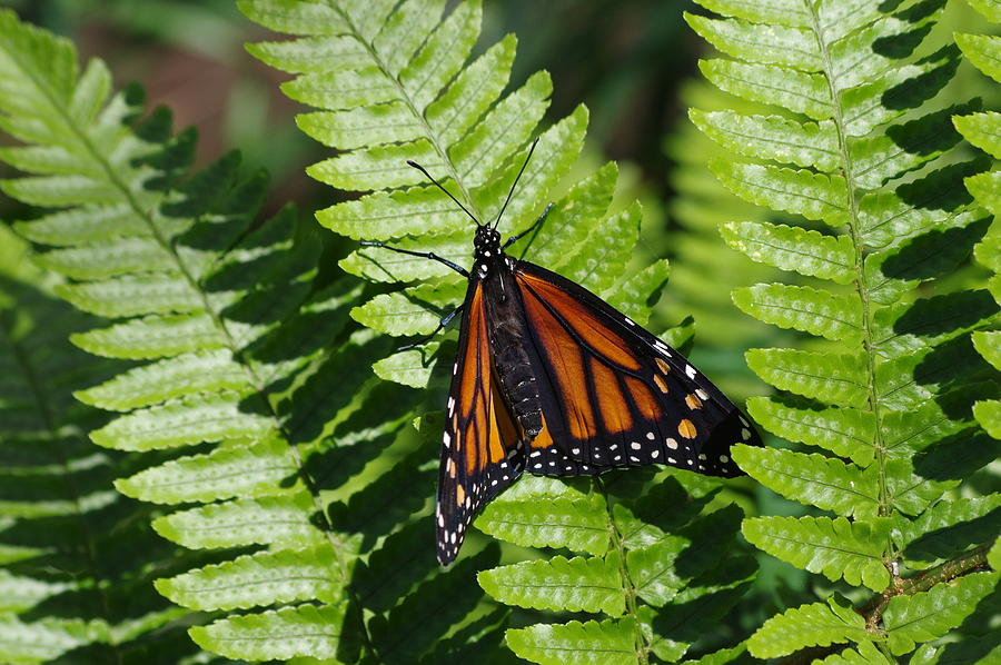 Monarch Butterfly Photograph - Monarch On A Fern by Aaron Rushin