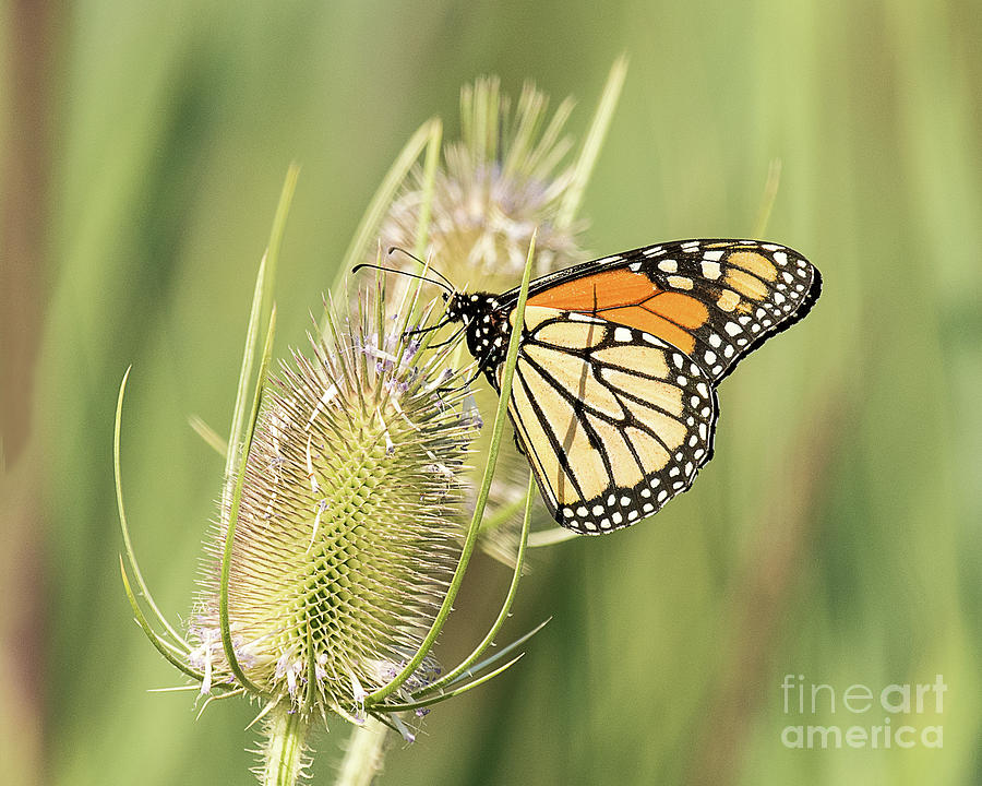 Butterfly Photograph - Monarch On A Thistle  by Dennis Hammer