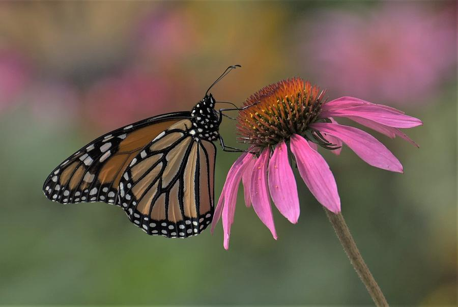 Monarch on Coneflower by Michael Hall