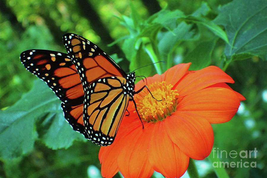 Monarch on Mexican Sunflower by Nicole Angell