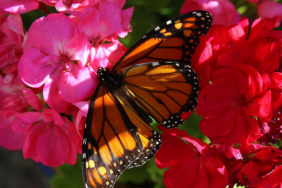 North American Butterflies Photograph - Monarch On Summer Geraniums by Dora Sofia Caputo Photographic Design and Fine Art