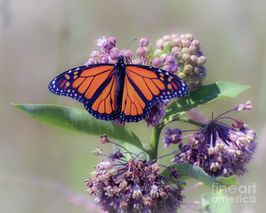Monarch Butterfly Photograph - Monarch On The Milkweed by Kerri Farley