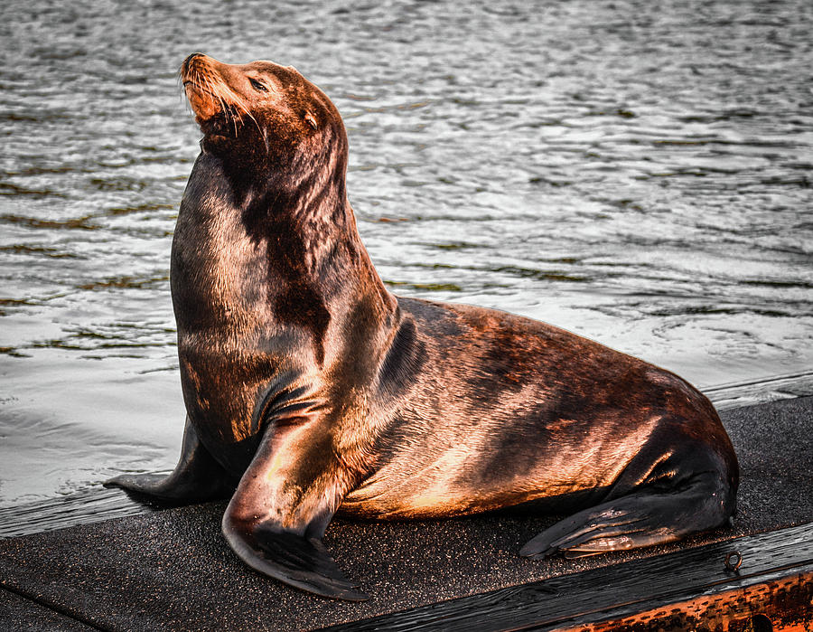 Monarch SeaLion by Jason Brooks