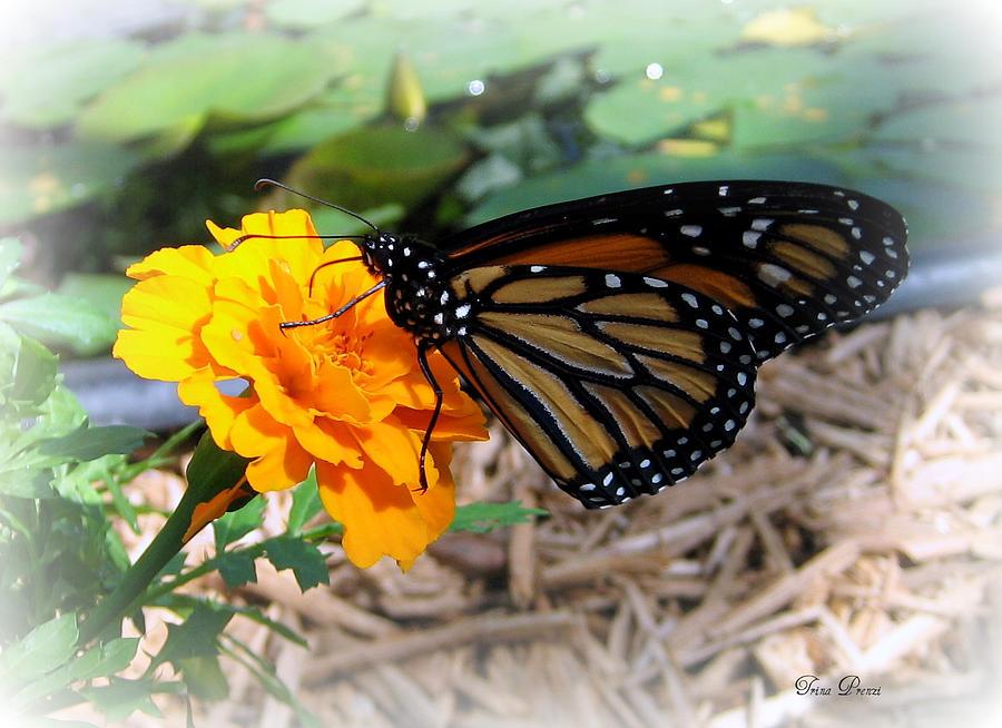 Butterfly Photograph - Monarch by Trina Prenzi