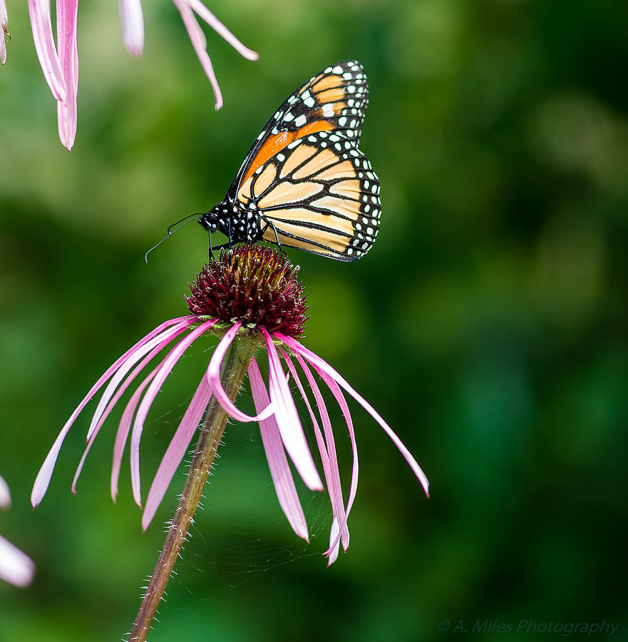 Echinacea Photograph - Monarched Coneflower by Andrew Miles