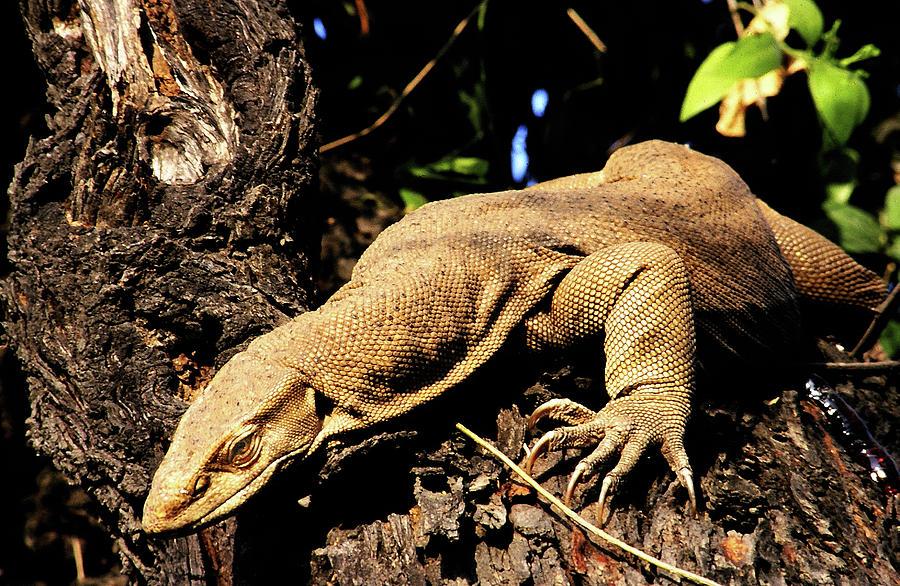 Monitor Photograph - Monitor Lizard by Manjot Singh Sachdeva