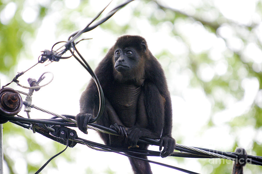 Animals Photograph - Monkey On A Powerline by Mopics