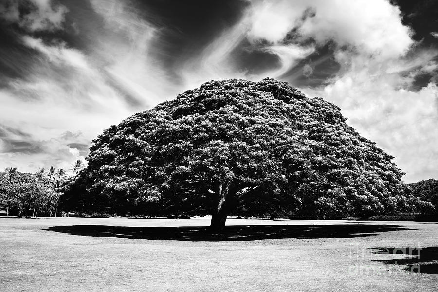 B&w Photograph - Monkey Pod Tree In Black And White by Charmian Vistaunet