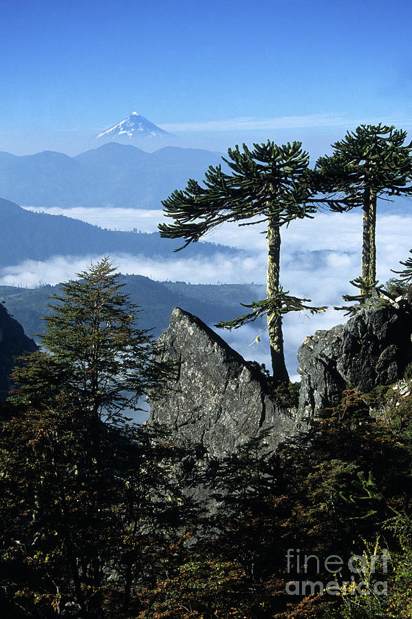 Chile Photograph - Monkey Puzzle Trees In Huerquehue National Park by James Brunker