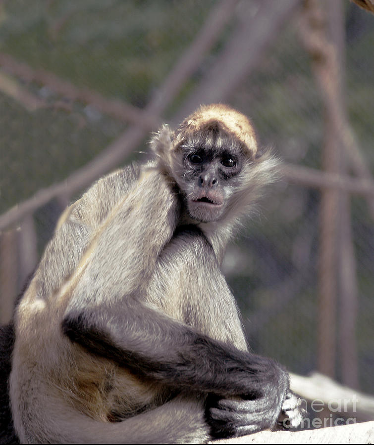 Monkey Photograph - What Are You Looking At by Irma BACKELANT GALLERIES