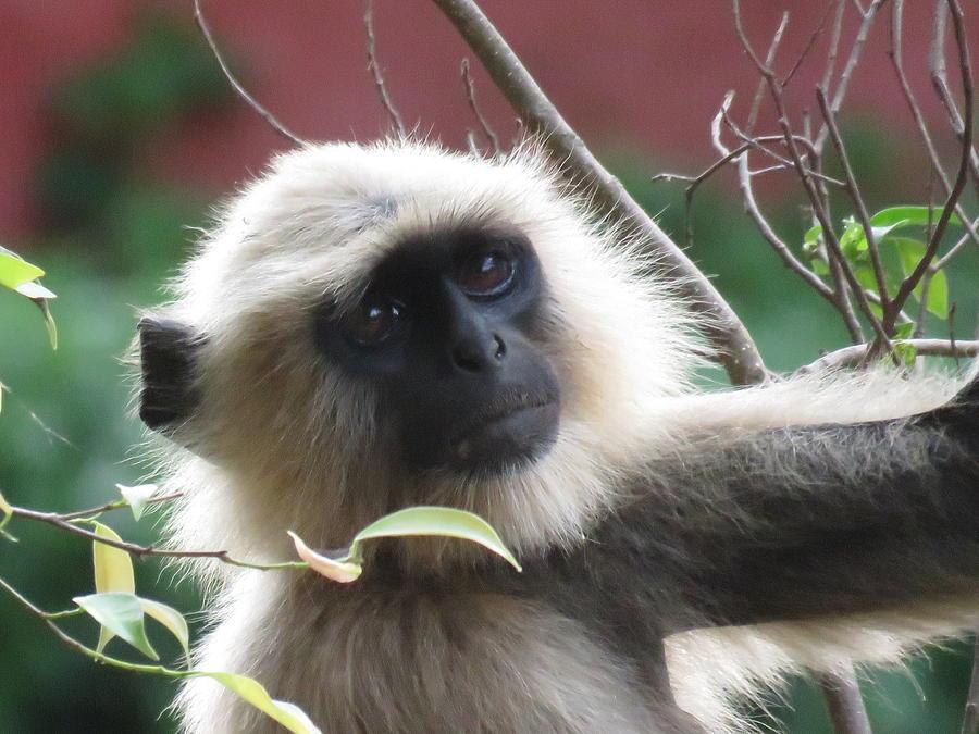 Monkey Photograph - Monkey  by Utpal Datta