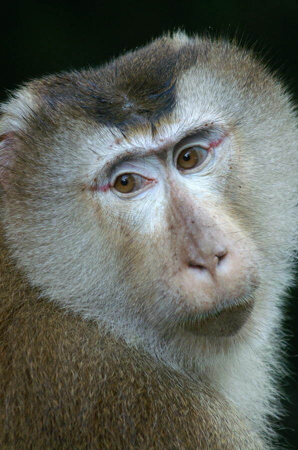 Monkey Photograph - Monkey With A Heart Shaped Face by Jessica Rose