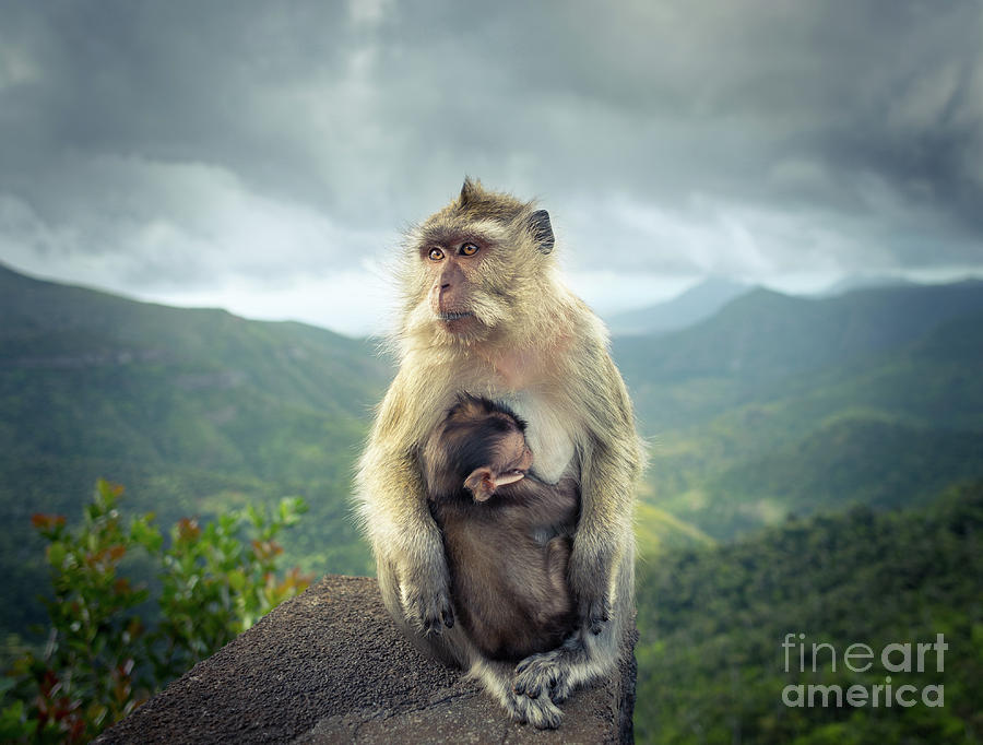 Monkeys At The Gorges Viewpoint. Mauritius. Photograph
