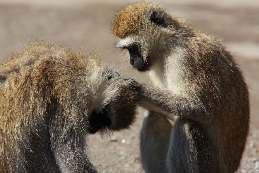 Ape Photograph - Monkeys Grooming by Aidan Moran