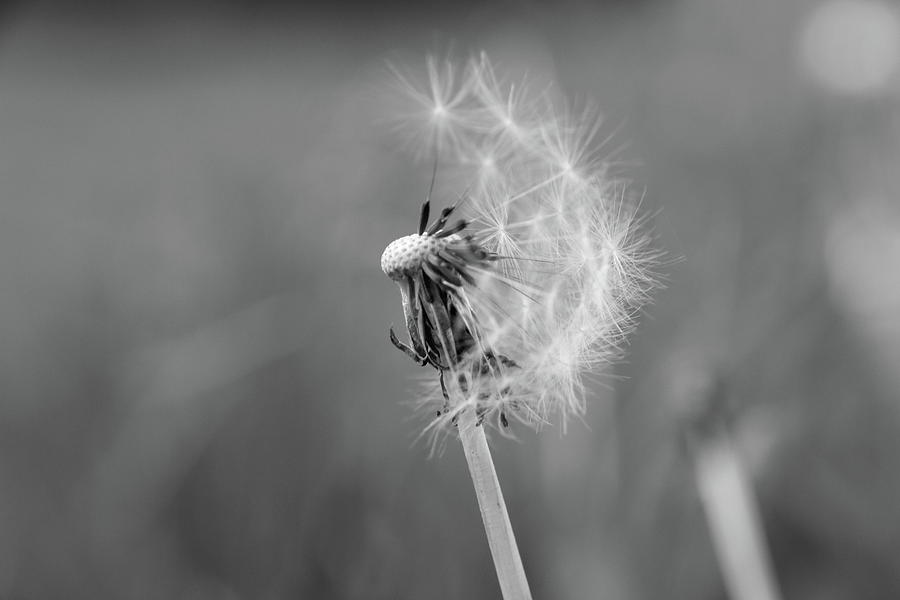 Dandelion Photograph - Monochrome Beauty by Stacey Scott