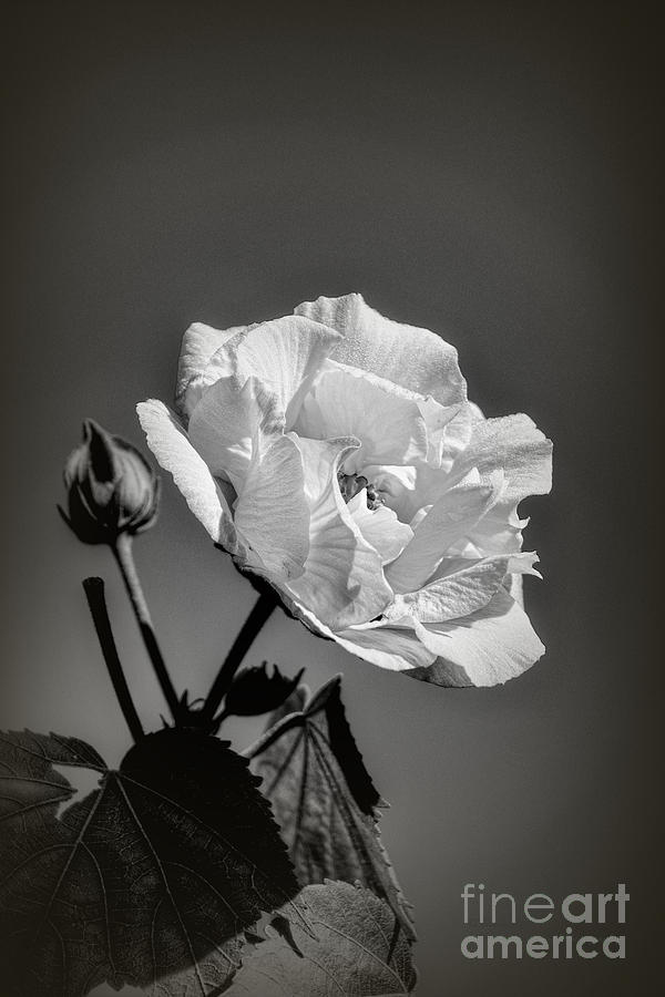 Monochrome Rose of Sharon by Elaine Teague