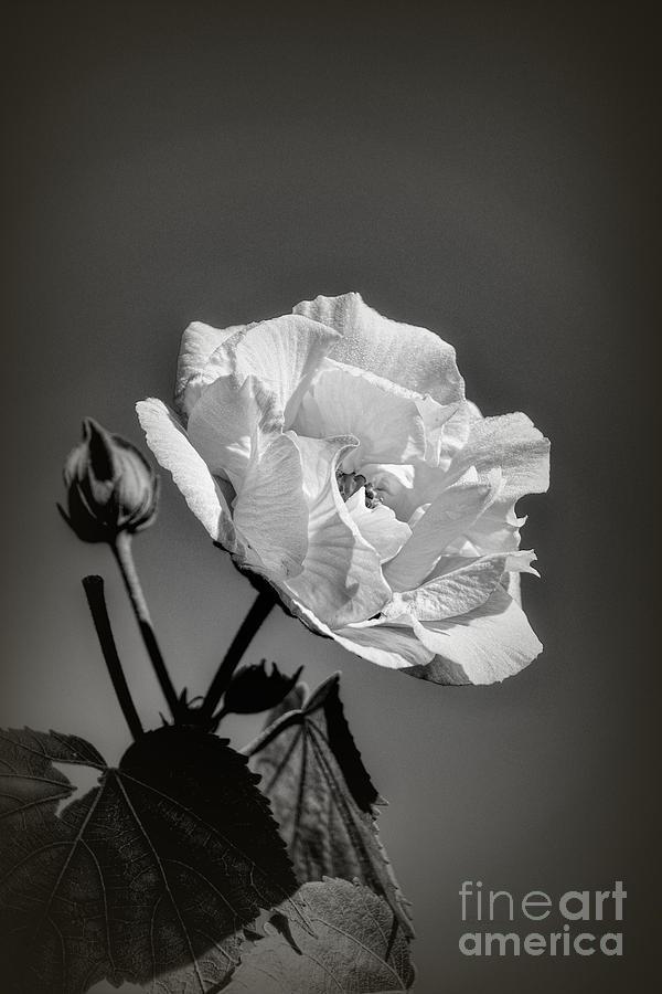 Monochrome Rose of Sharon by Elaine Teague
