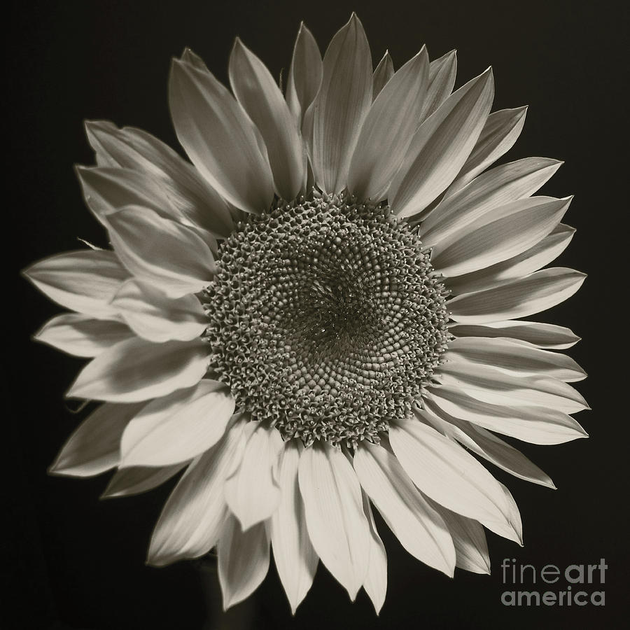 Monochrome Sunflower by Kelly Holm