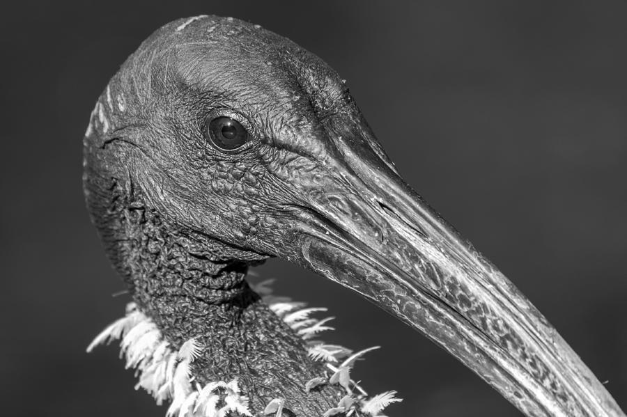 Bird Photograph - Monochrome Eye-bis by Teale Britstra
