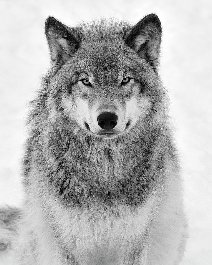 Monotone Timber Wolf Photograph
