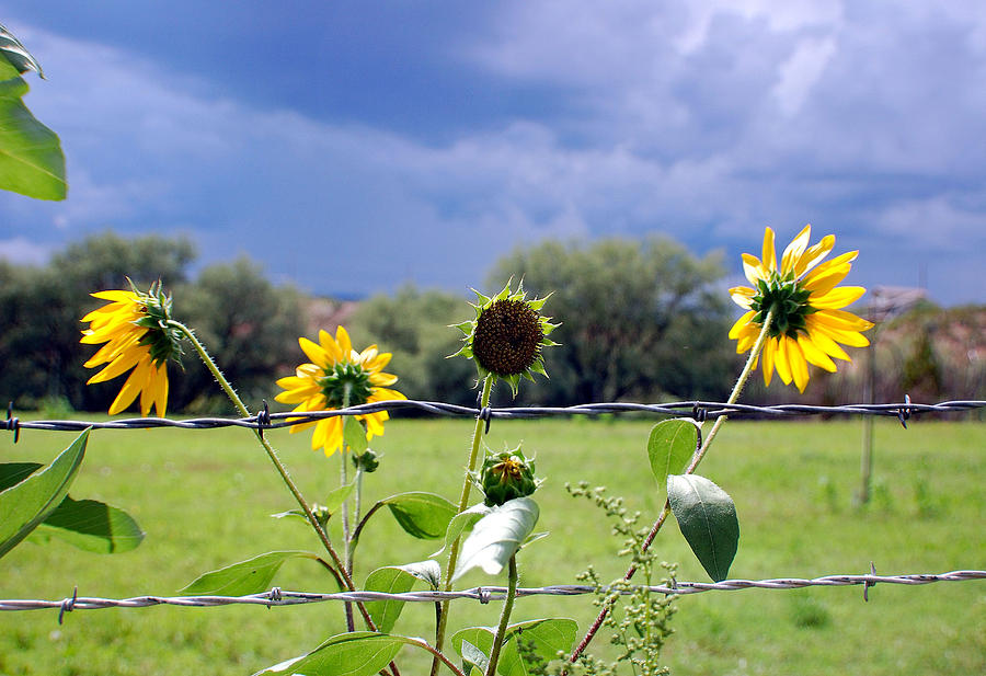 Flowers Photograph - Monsoon Sunflowers by Heather S Huston