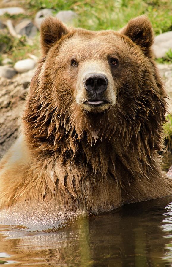 Montana Grizzly by David Cabana