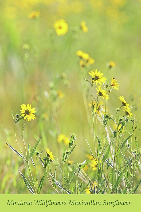 Montana Wild Sunflowers Maximillan Photograph