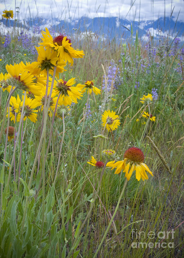 Mission Mountains Photograph - Montana Wildflowers by Idaho Scenic Images Linda Lantzy