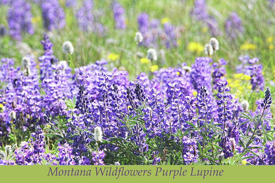 Montana Wildflowers Purple Lupine Photograph