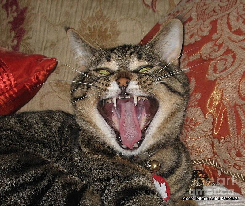 Cats Photograph - Montys Yawn by Jolanta Anna Karolska